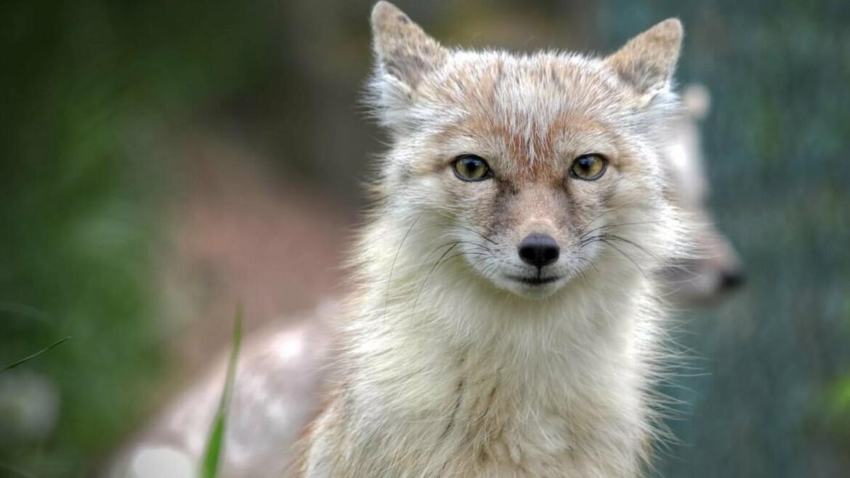 корсак степная лиса