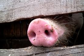 В Татарстане введен карантин по африканской чуме свиней