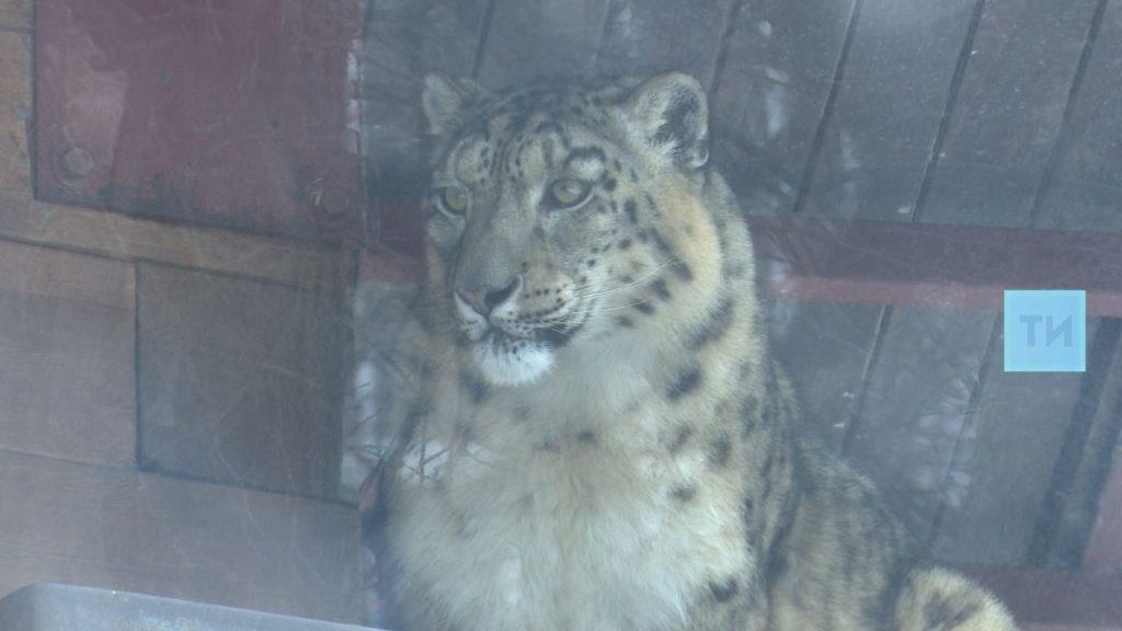 Последний снежный барс казанского зоопарка скончался отрака иинсульта