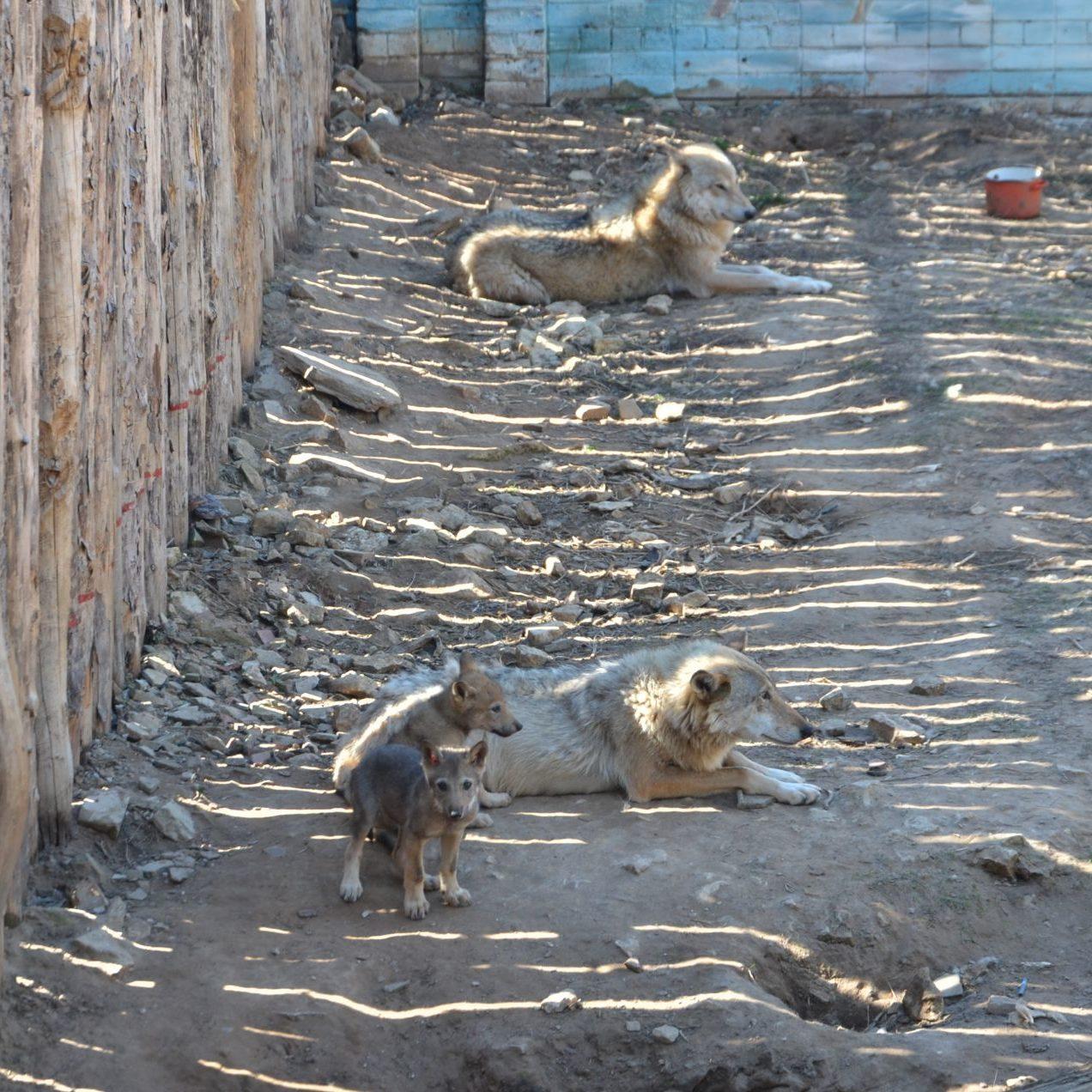 волки зоопарк Челнов