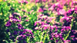 аптекарский сад